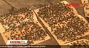 Chuyện lạ: Sống giữa bầy ruồi bu đen kịt ở Vĩnh Long