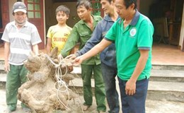 Đào được củ khoai vạc có hình thù kỳ lạ nặng 73kg
