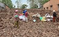 Lại đổ xô thu mua lá điều khô