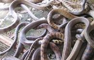 Thương lái Trung Quốc ngưng mua, nông dân miền Tây lao đao vì rắn