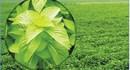 JICA hỗ trợ trồng cây bạc hà Nhật Bản tại Bình Thuận
