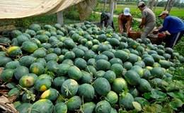 Giá dưa hấu tại Trung Quốc giảm sâu, dưa hấu Việt Nam khó cạnh tranh