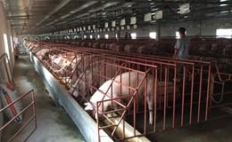 Trung Quốc chưa nhập khẩu lợn từ Việt Nam