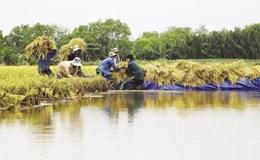 Hạt gạo xuất khẩu: Vẫn loay hoay tìm lối ra