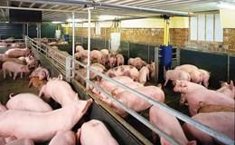 Ngân hàng giãn nợ cho người nuôi lợn, vẫn cho vay tiếp nhưng phải có lãi