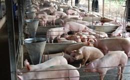Trung Quốc mở cửa thị trường cho thịt lợn Việt Nam