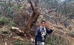 """Cánh buôn đào Tết """"sốt xình xịch"""" với cây đào """"lạ"""" ở Sơn La"""