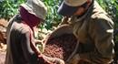 Các Cty con của Vinacafe: Người lao động bị quản lý cả... đất ở