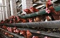 FAO khuyến cáo chưa tiêm vaccine H7N9 cho gia cầm