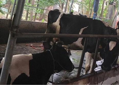 Sống giữa mùi phân bò