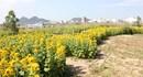 Độc đáo vườn hoa hướng dương hình bản đồ đất nước của lão nông Đà Nẵng