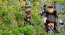 Đang có 1.335 cá thể Voọc chà vá chân nâu sinh sống tại Sơn Trà
