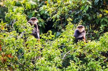 Từ đâu ra con số 1.335 cá thể voọc chà vá chân nâu trong khu bảo tồn Sơn Trà?