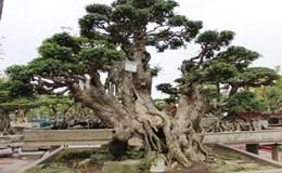 Háo hức chiêm ngưỡng dàn cây cảnh tiền tỉ