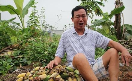 Hàng nghìn cây chuối bị phá tại Hải Phòng: Xem xét khởi tố nếu đủ điều kiện - ảnh 1