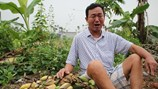 Vụ chặt phá vườn chuối ở Hải Phòng: Định giá từ 70 đến 200 nghìn đồng một buồng chuối