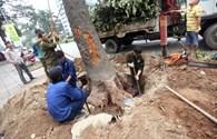 """Về việc thay thế hay """"chiến dịch"""" chặt hạ 6.700 cây xanh tại Hà Nội: Phải công khai cho dân biết"""