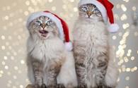 Hai chú mèo có hàng trăm nghìn người hâm mộ ngộ nghĩnh đón Giáng sinh