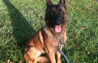 Chú chó anh hùng Diesel thiệt mạng khi truy kích khủng bố Paris được trao huy chương dũng cảm