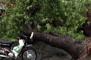 Cảnh hàng loạt cây xanh ở Hà Nội bật gốc sau trận mưa to, gió giật cực mạnh