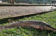 """Hình ảnh con cá trê """"khủng"""" câu được ở kênh Nhiêu Lộc"""