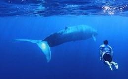 Khám phá loài cá voi xanh động vật lớn nhất thế giới