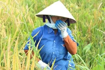 Nông dân cực nhọc gặt lúa dưới cái nắng 40 độ C