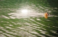 Rùa hồ Gươm nổi vào ngày chuyển thi hài Đại tướng về Quảng Bình