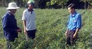 Kiên Giang: Thu nhập cao từ trồng ớt