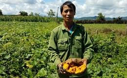 """Xuất hiện thương lái cam kết """"giải cứu"""" hàng trăm tấn bí ngô cho nông dân Đắk Lắk"""
