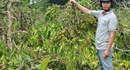 Đắk Lắk: Thuê người chặt phá 445 cây càphê