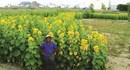 """Lão nông """"vẽ"""" bản đồ Việt Nam bằng hàng ngàn cây hoa hướng dương"""