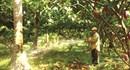 Trồng ca cao nên trồng xen cây công nghiệp hoặc cây ăn trái
