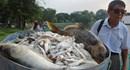 Người dân không sử dụng cá chết ở hồ Tây làm thực phẩm