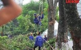 """Hà Nội: Hàng cây cổ thụ ở Kim Mã chuẩn bị phải """"di chuyển"""""""