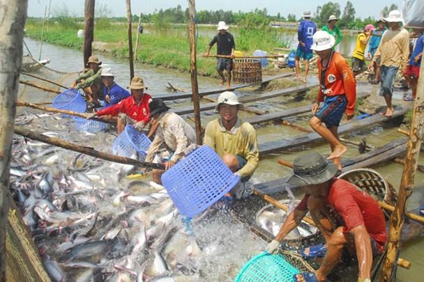 """Sự yếu kém về tài chính được xem là """"tử huyệt"""" của ngành thủy sản hiện nay. Ảnh: Thu hoạch cá tra ở ĐBSCL"""