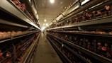 """Tồn hàng triệu con gà công nghiệp: Lại nguy cơ phải """"giải cứu"""""""
