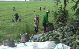 """Đồng bằng sông Cửu Long: Nông dân lại khổ vì """"được mùa mất giá"""""""