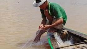 Tản mạn: Cá rô đâm xóc bồi hồi