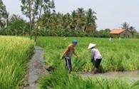 Người Trung Quốc trồng giống lúa lạ ở Long An không phép