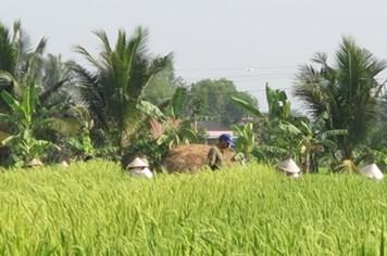 """Xử phạt hành chính vụ thuê người Trung Quốc trồng """"lúa lạ"""""""