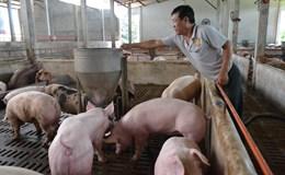 Cần giải cứu hàng ngàn hộ nuôi heo trước nguy cơ phá sản