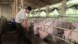 """Người nuôi lợn mạo hiểm tái đàn đón """"sóng"""""""