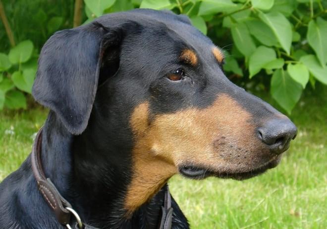 Loài chó Doberman có tên gọi đầy đủ là Dobermann Pinscher, đây là một loài chó khá hung dữ thường được nuôi để canh gác, làm nghiệp vụ hoặc giữ nhà. Một con Dobermann cái có thể cao 65–70 cm và nặng khoảng từ 32 đến 35 kg, trong khi con đực thì vào khoảng 68-72 cm và nặng 40-45kg. Dobermann bị xếp vào loại chó nguy hiểm tại tiểu bang Brandenburg ở Đức.Bên Thụy sĩ, 8 trong 12 bang cũng liệt Dobermann vào loại chó nguy hiểm, và phải xin giấy phép nếu muốn nuôi loại chó này. Ở bang Wallis họ cấm cả việc nuôi, gây giống và nhập cảnh vào.Thông thường Dobermann có bộ ngực to khỏe, cơ thể săn chắc vạm vỡ.