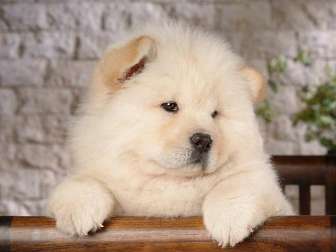 7. Chó ngao Tây Tạng (Chow Chow)