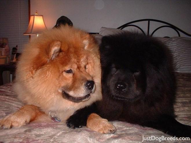 Chó ngao Tây Tạng có kích thước khá đồ sộ. Cao ít nhất 70 cm đối với chó đực. Nặng khoảng từ 64–82 kg. Với bộ lông 2 lớp, lớp lông ngoài mềm và dài còn lớp lông trong bông như len. Nó có thể thích nghi với mọi thời tiết khắc nghiệt nhất. Chó ngao Tây Tạng có phần lông ở cổ đặc trưng trông như bờm sư tử. Chúng khá lì lợm, trung thành, đặc biệt chỉ nghe chủ, chỉ trung thành tuyệt đối với 1 chủ nhân duy nhất.