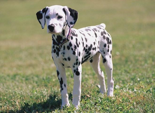 8. Chó đốm (Dalmatian)