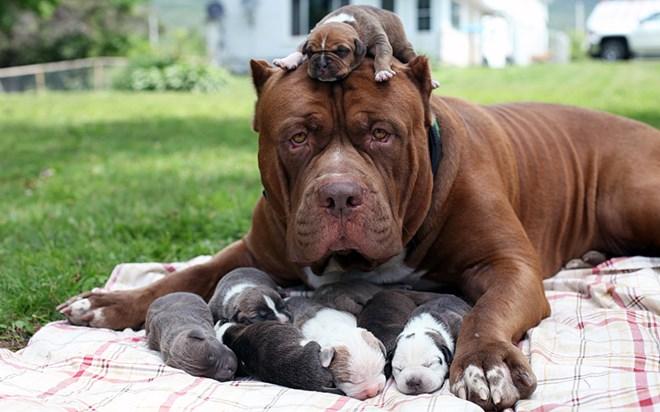 Là giống chó nhập ngoại có nguồn gốc từ Mỹ, đặc tính rất hung dữ và hiếu chiến Dòng chó này có nguồn gốc từ châu Mỹ và đang dần được nuôi phổ biến ở Việt Nam. Được coi như hung thần của các loại chó chọi, với sức mạnh của cơ thể cộng với hàm răng sắc nhọn, khi đã xung trận Pitbull được ví như những chiến binh, chúng có thể cắn nhau đến hơi thở cuối cùng. Pitbull được xem là chúa tể của các loài chó chọi.