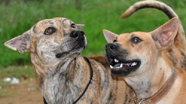 Trẻ em khi chơi với chó thường có những hành động như cầm đuôi, nhéo tai khiến chó đau và hoảng sợ, lúc này chó sẽ quay ra cắn người như một bản năng gây ra những vụ tai nạn đáng tiếc không riêng gì giống chó Phú Quốc.