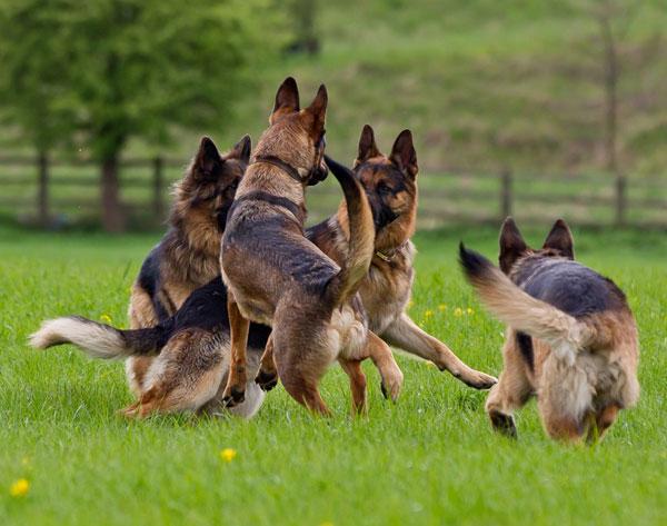 Chó chăn cừu có bản chất trung thành, và gắn bó với người quen của chúng. Tuy nhiên, chúng có thể thái quá trong việc bảo vệ gia đình chủ hay lãnh thổ, đặc biệt nếu chúng không được huấn luyện để quen với người.